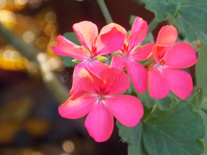 Pink flowers in a garden royalty free stock images