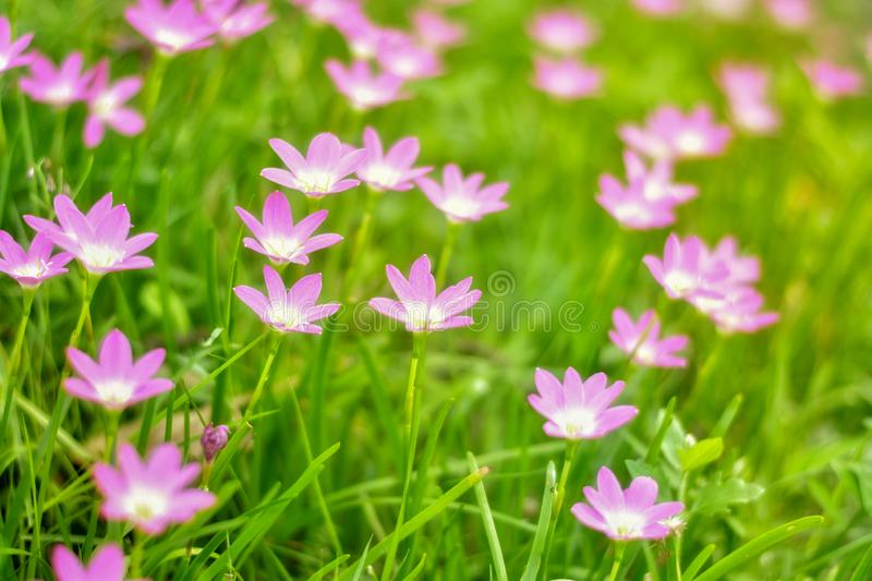 Pink flowers on grass in the outdoor garden there is a shining light royalty free stock image