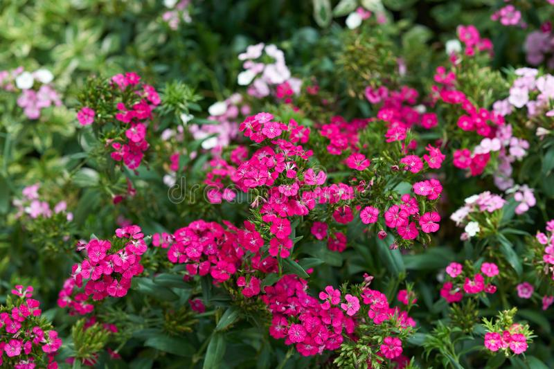 Pink flowers on green bush royalty free stock image