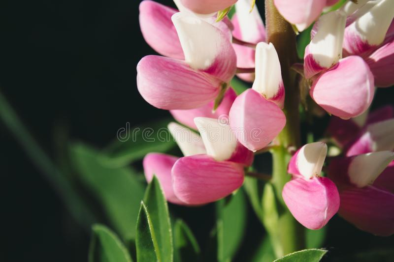 Pink flowers and green large leaves. Close up royalty free stock photo