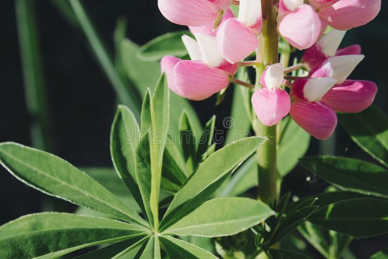 Pink flowers and green large leaves. Close up royalty free stock photography