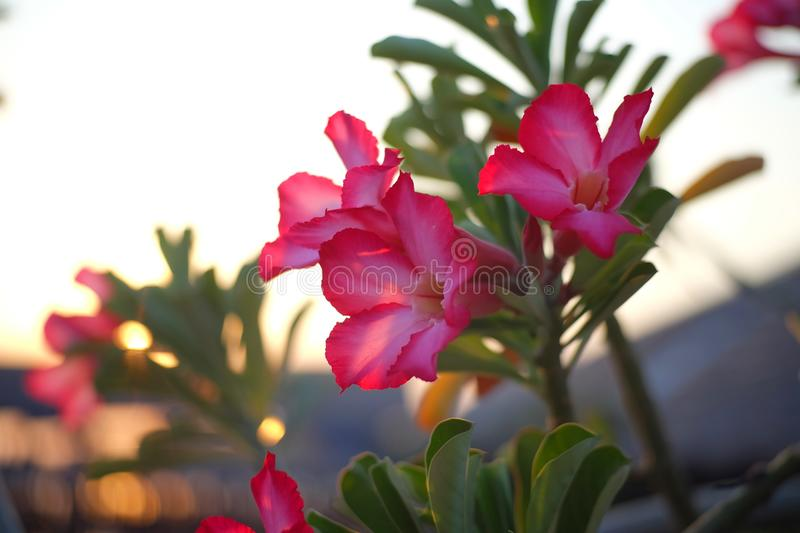 Pink flowers and green leaf with sunset light background. Landscape royalty free stock image