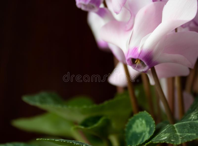 Pink flowers with green leaves on a black background royalty free stock image