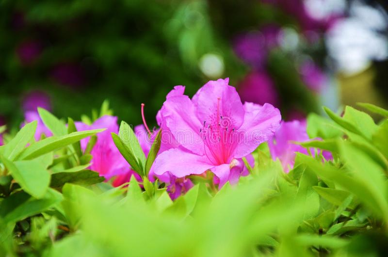 Pink flowers and green leaves and its pollen. Beautiful colors combination of pink flowers and green leaves with blurry background and blurry some green leaves stock photo