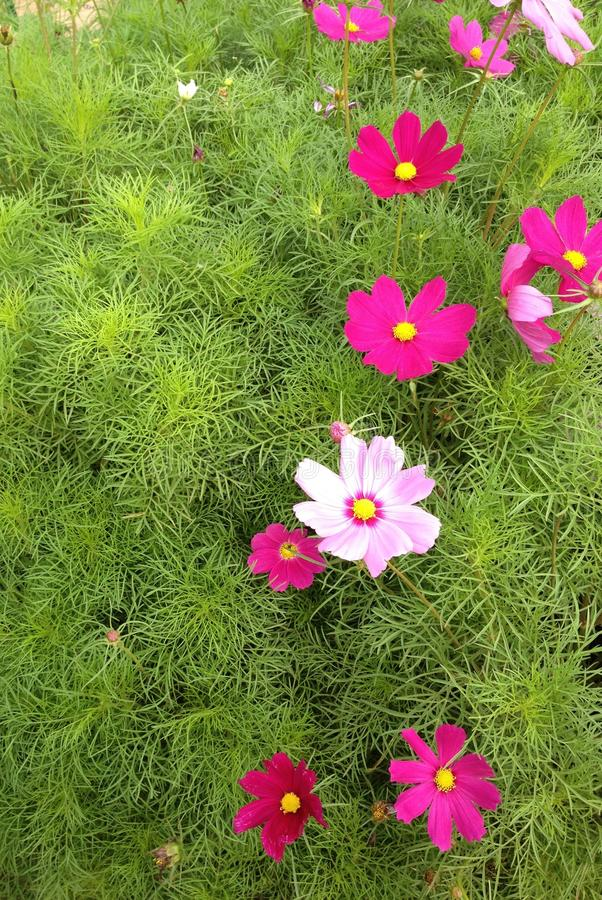 Pink flowers on the greensward stock images