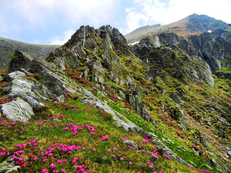 Pink flowers growing beneath pointy rocks of Carpathian mountains royalty free stock photos