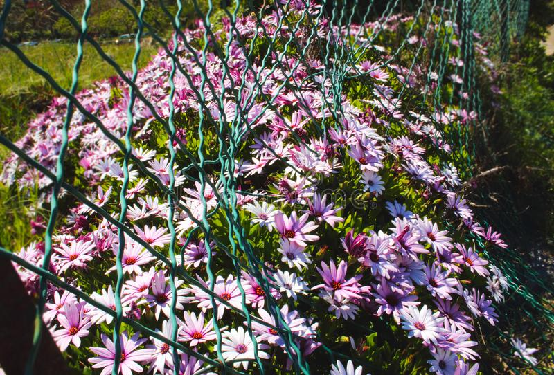 Pink flowers growing through a crooked fence on sunny day stock photography