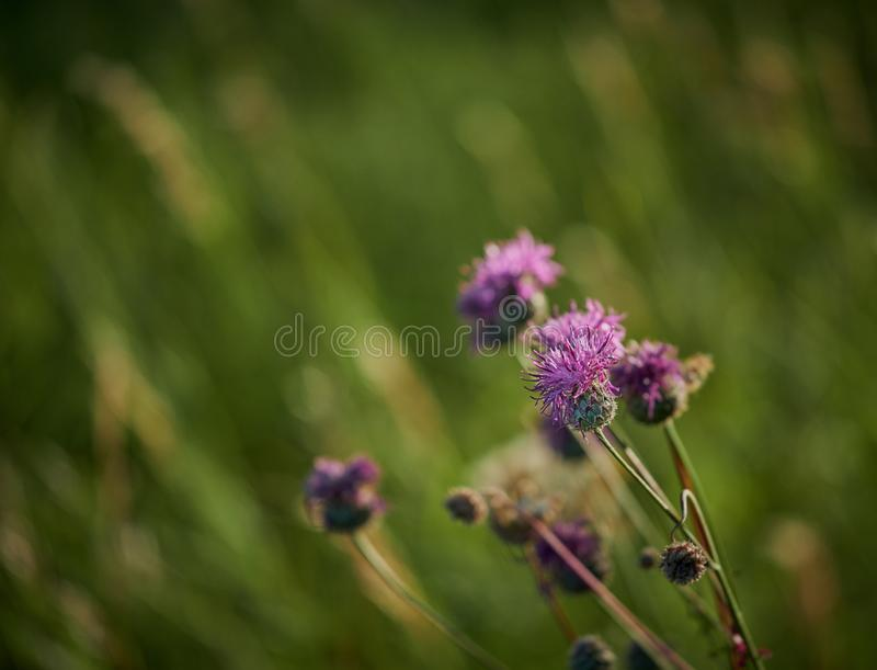 Pink flowers in the wild. Pink flowers growing in the wild stock photography