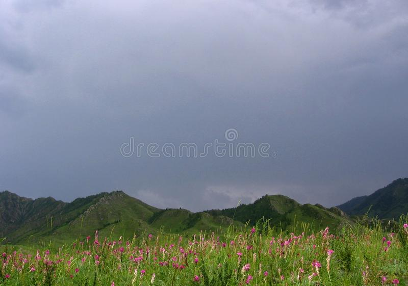 Pink flowers High dark mountains the Altai mountain pass in the green valley. On the banks stock image