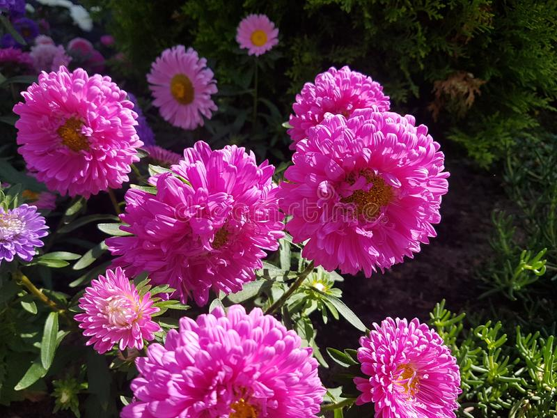 Pink flowers in house garden in Heusenstamm in Germany. Pink Flower royalty free stock photography