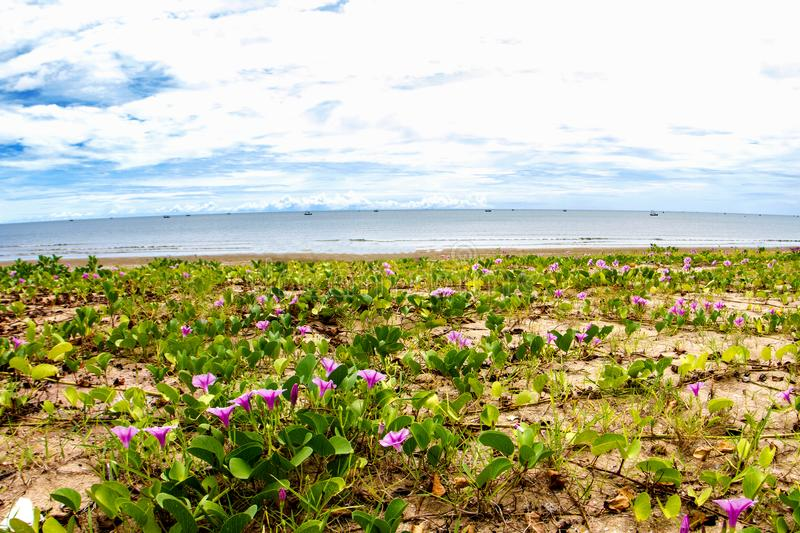 Pink flowers Ipomoea pes-caprae and beach in the morning sunri. Se stock photo