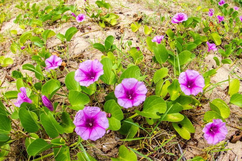 Pink flowers Ipomoea pes-caprae and beach in the morning sunri. Se stock photos