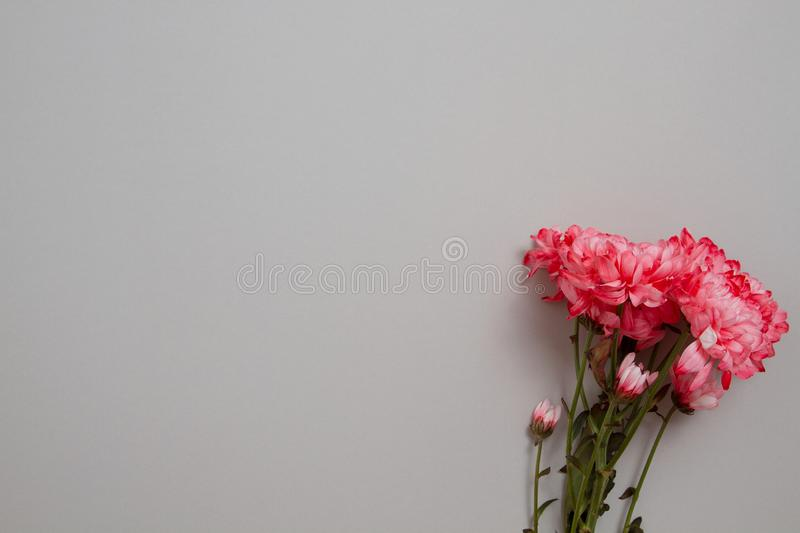 Pink flowers isolated. Postcard with copy space and template background. Top view. Mother day and valentines concept. Flower. Delivery and online order luxury royalty free stock photos