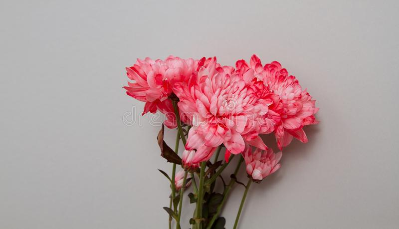 Pink flowers isolated. Postcard with copy space and template background. Top view. Mother day and valentines concept. Flower. Delivery and online order luxury royalty free stock images