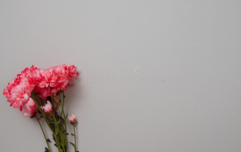 Pink flowers isolated. Postcard with copy space and template background. Top view. Mother day and valentines concept. Flower. Delivery and online order luxury royalty free stock photo