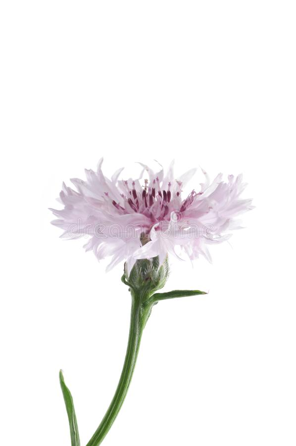 Pink flowers of knapweed on a white background stock photos