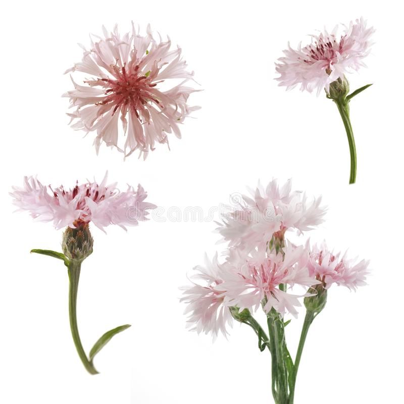 Pink flowers of knapweed on a white background royalty free stock photo