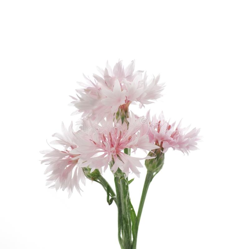 Pink flowers of knapweed on a white background stock image