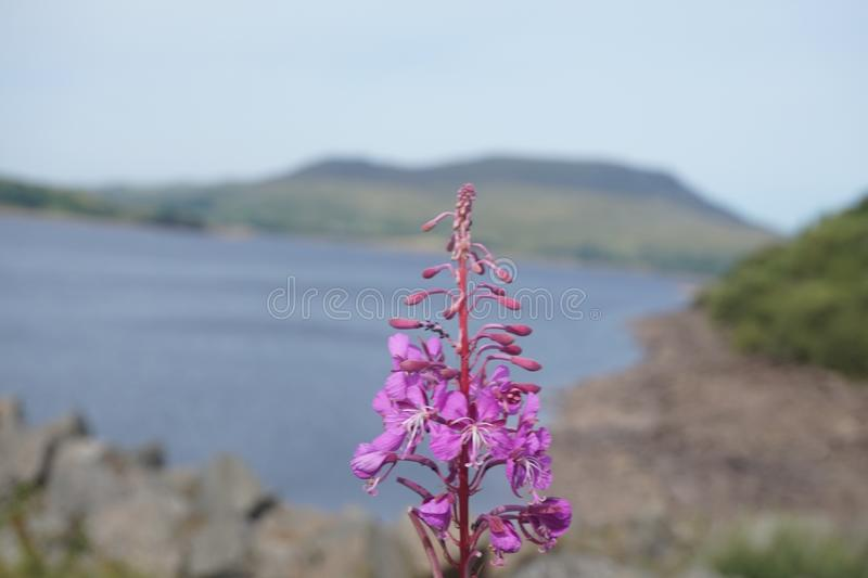Pink flowers at the lake royalty free stock photo