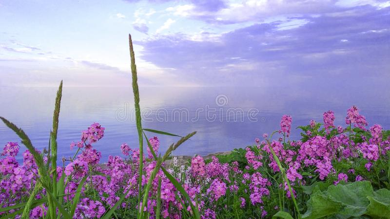 Pink flowers by Lake Ontario at sunset stock photo
