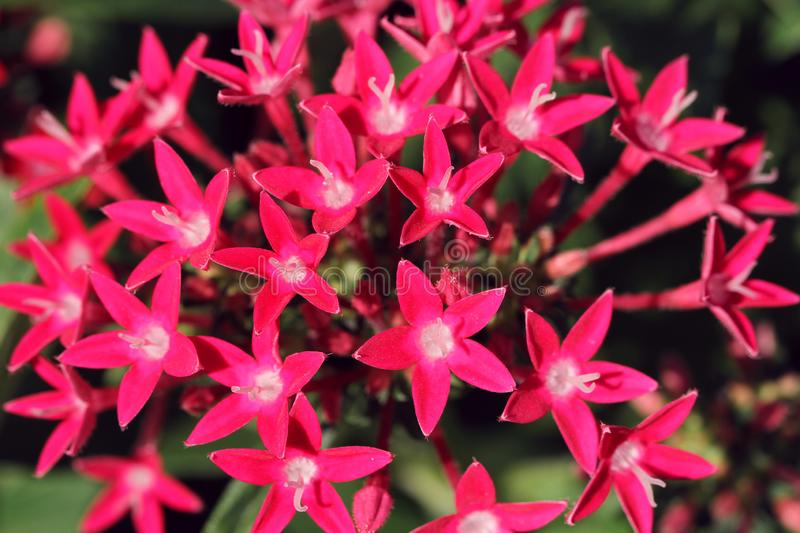 Pink flowers like stars in autumn royalty free stock photography