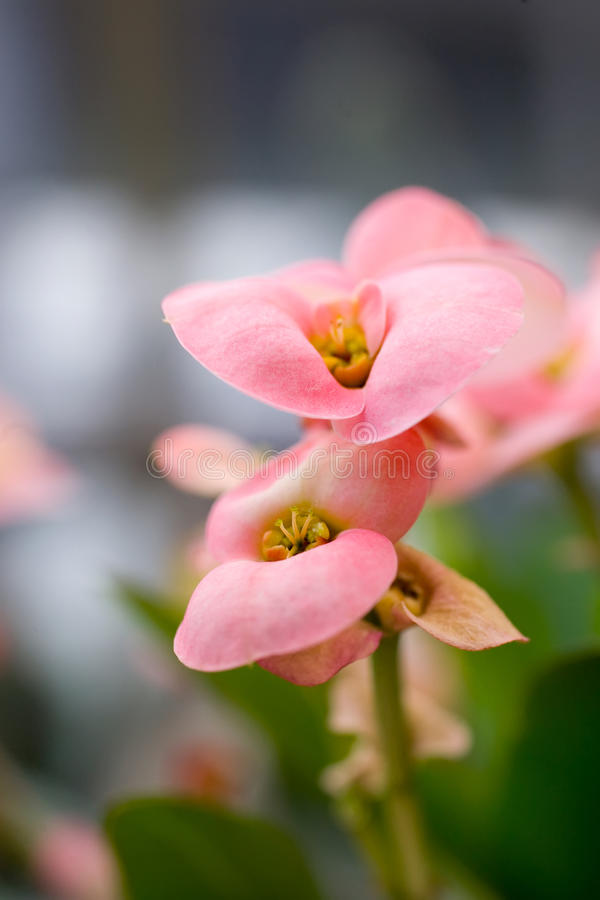 Pink flowers macro background royalty free stock photos