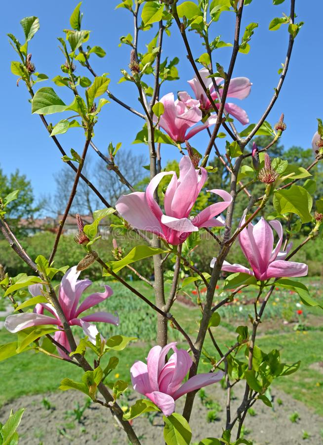 Pink flowers of a magnolia of Sulanzha Magnolia ×soulangeana Soul. - Bod.  royalty free stock photos