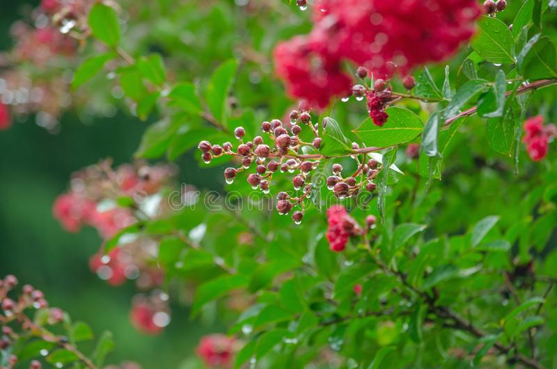 Pink Flowers With Morning Dew stock photography