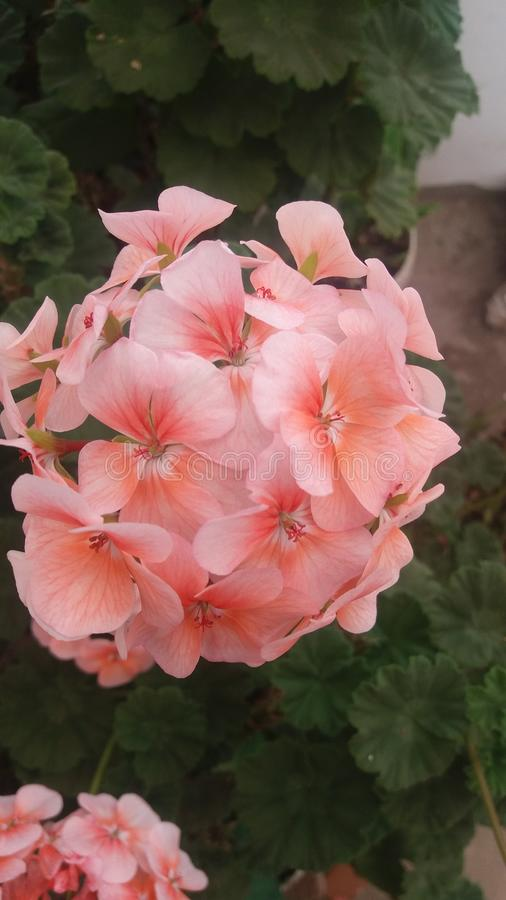 Light pink flowers of my garden royalty free stock photography