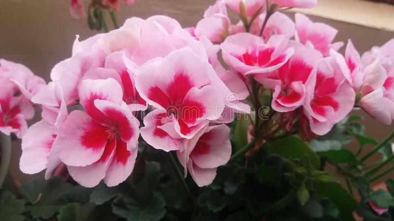 Pink flowers of my garden stock photos