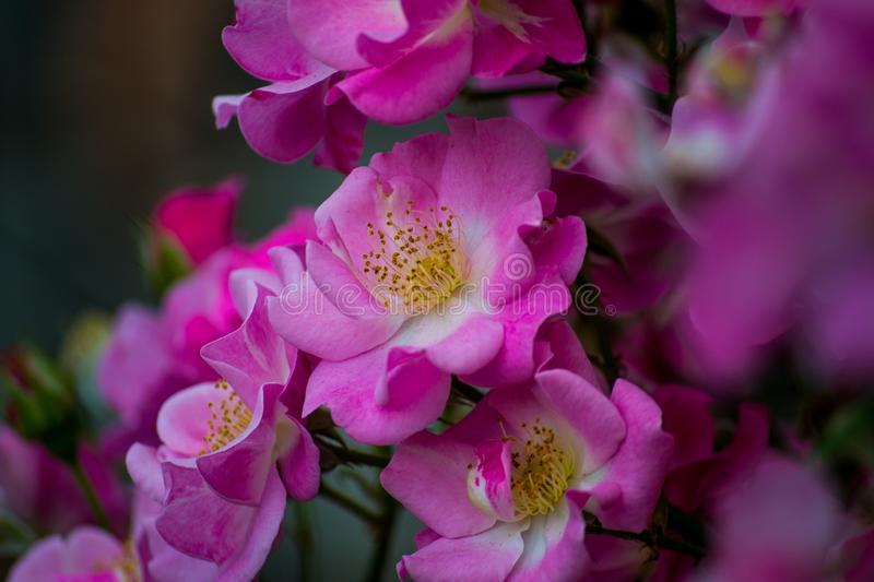 Pink flowers in nature royalty free stock photo