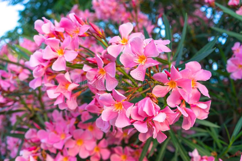 Pink flowers of oleander stock images