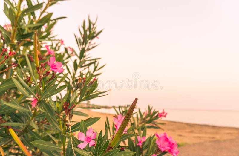Pink flowers of oleander near the sea royalty free stock photo