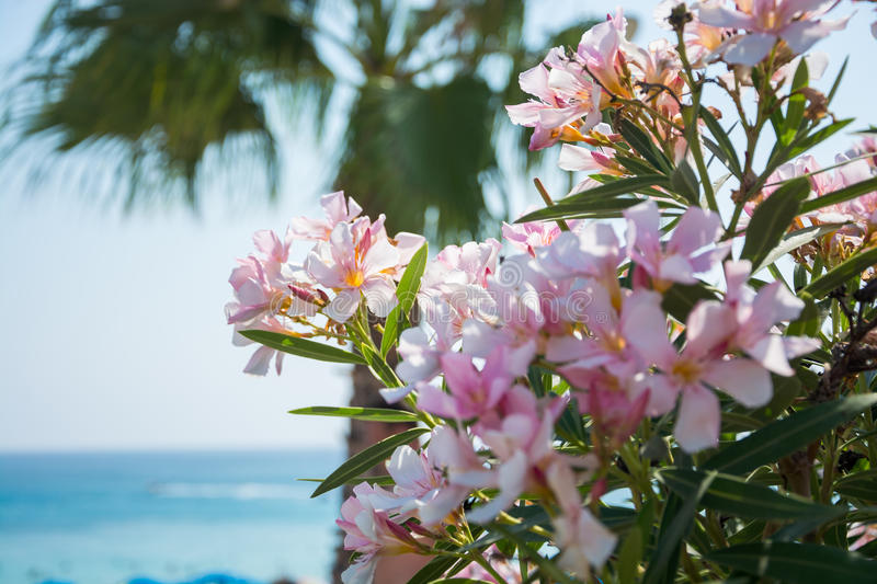Pink flowers palm tree and sea views on the coast of cyprus stock download pink flowers palm tree and sea views on the coast of cyprus stock image mightylinksfo