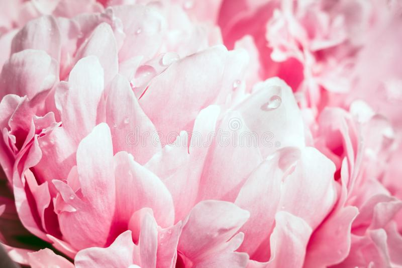 Pink flowers peonies closeup. Peonies close-up background pink flowers, abstract petals drops macro photography stock photography