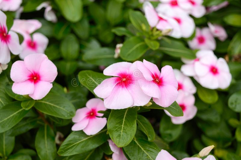 Pink flowers periwinkle in the garden. Beautiful flower beds with flowering shrubs stock images