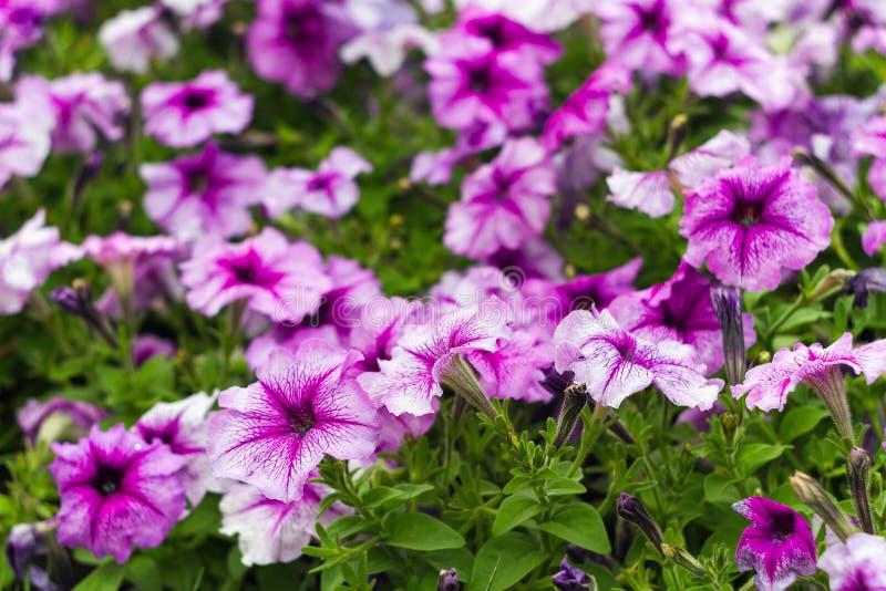 Pink flower Petunia is flowering plants of South American origin stock images