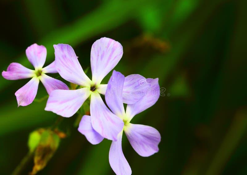 Pink flowers Phlox divaricata royalty free stock images