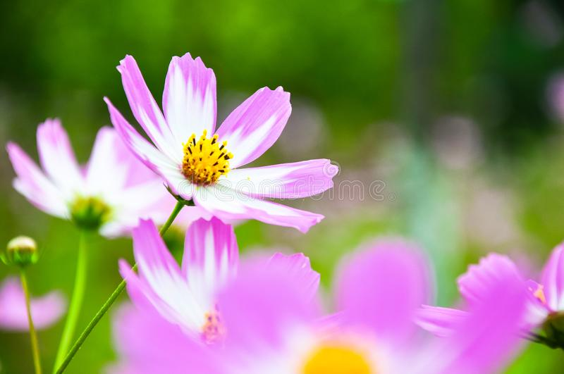 Pink flowers. Purple flowers background in garden royalty free stock photo