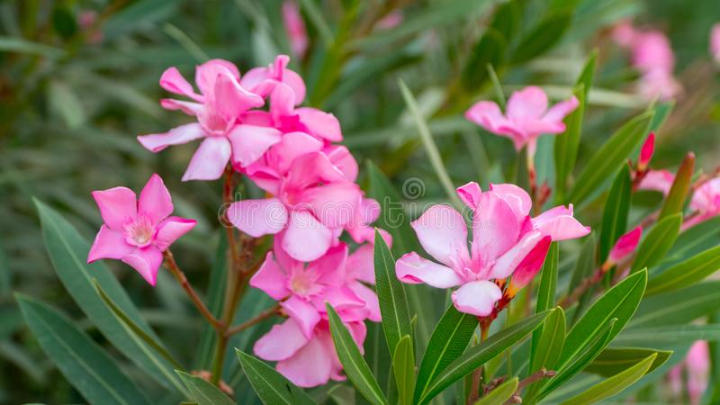 Pink flowers of Red-Leafed Rose royalty free stock images