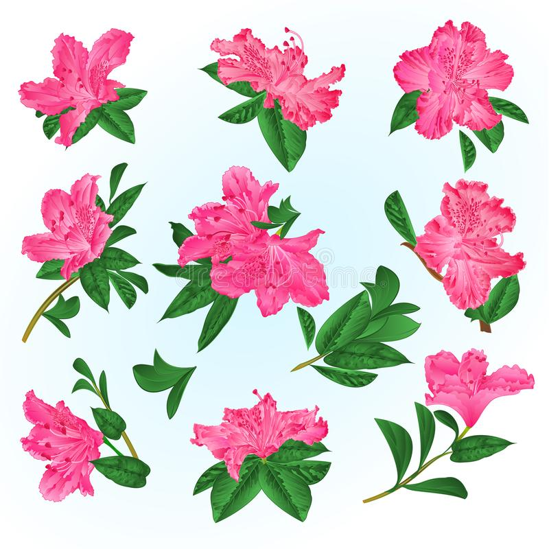 Pink flowers rhododendrons and leaves mountain shrub on a blue background vintage vector illustration editable royalty free illustration
