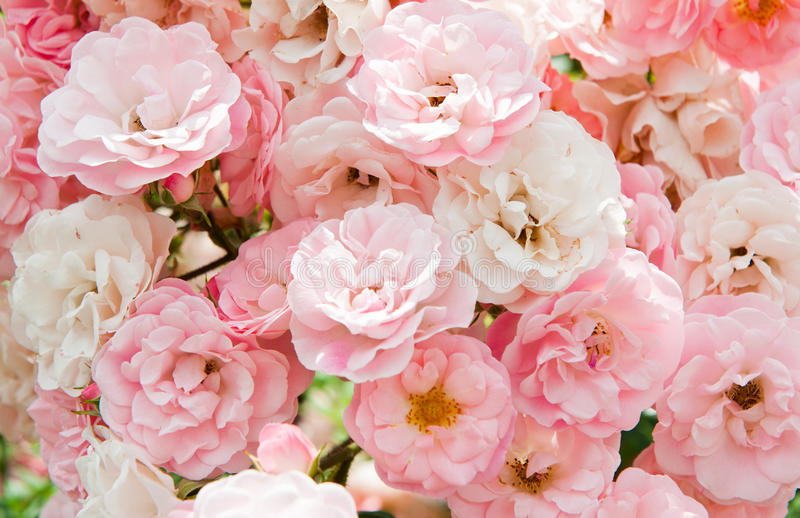 Pink flowers of roses. Background
