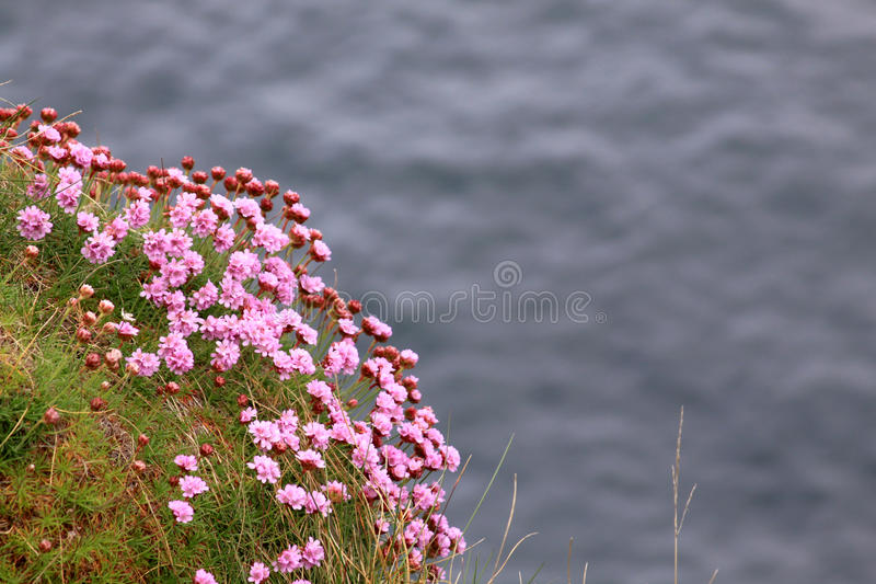 Pink flowers. On the sea shore in Ireland stock photography
