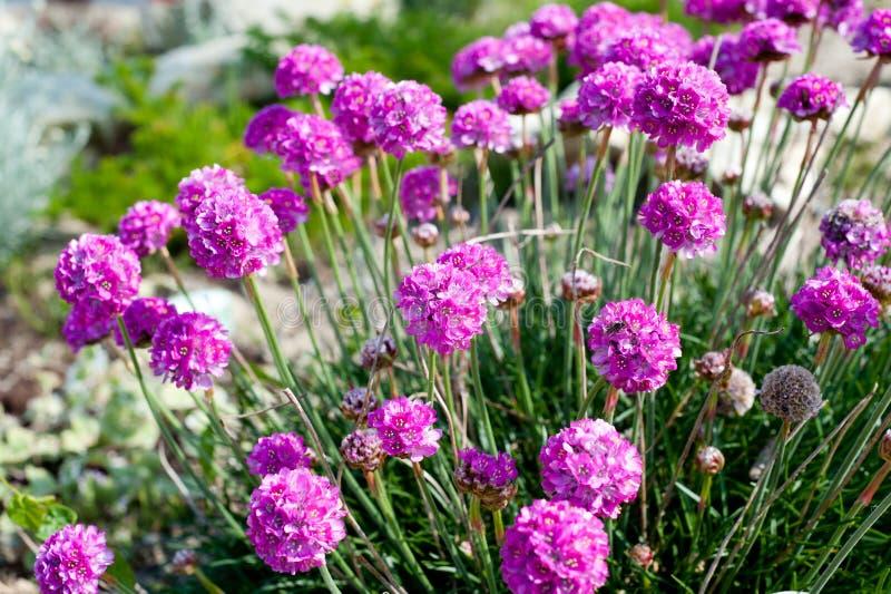 Pink flowers - Sea thrift (Armeria Maritima). Beautiful pink flowers . Name Sea thrift (Armeria Maritima) Growing On The Rocks stock image