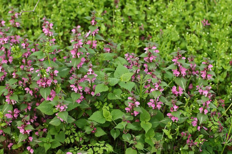 Pink flowers of spotted dead-nettle royalty free stock photos
