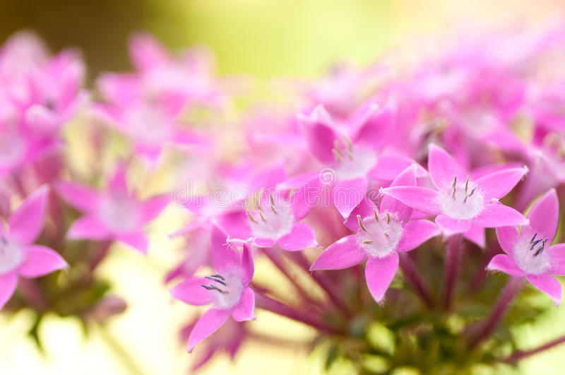 Pink flowers - Star Cluster. Pentas lanceolata flowers - Star Cluster stock image