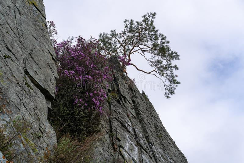 Pink flowers and a tree on the edge of the cliff against the sky royalty free stock image
