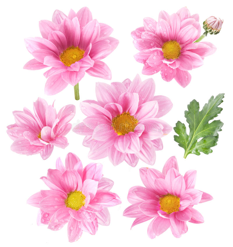 Pink flowers on white background stock image image of nature download pink flowers on white background stock image image of nature branch 10111997 mightylinksfo