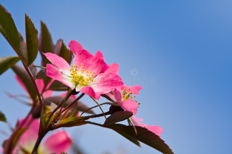 Pink flowers of a wild rose. A close up of pink flowers of a wild rose with green leaves on a blue sky background stock photo