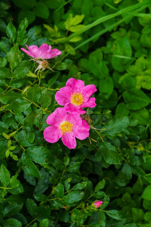 Pink flowers of wild rose against the background of green leaves royalty free stock images